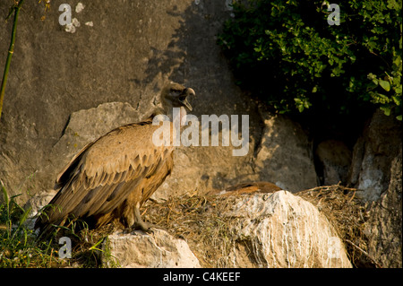 Adult Eurasian Griffon Vulture standing on edge of nest calling wit chicks back visible in the back of nest area - Stock Photo
