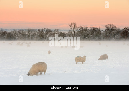 A field of sheep grazing in a snow covered field on the Somerset Levels, UK. - Stock Photo