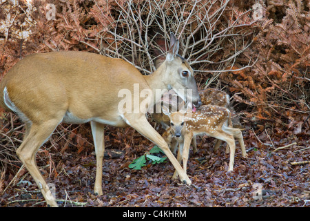 Female white-tailed deer (Odocoileus virginianus), grooming newborn fawns. - Stock Photo
