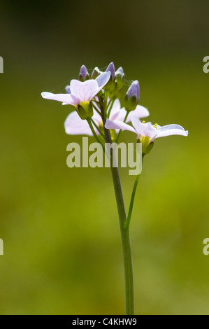 lady's smock or cuckoo flower - Stock Photo