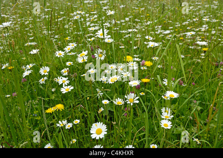 Traditional meadow flowers grown for animal feed in Austria. - Stock Photo