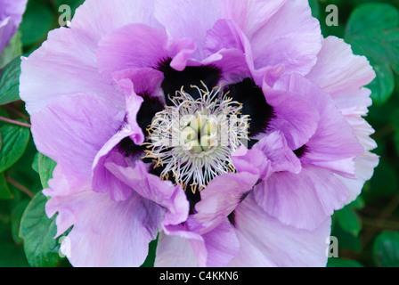 Flower of Peony  ( Paeonia x suffruticosa ) - Stock Photo