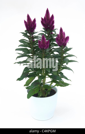Plumed Cockscomb (Celosia argentea). Purple flowering potted plant. Studio picture against a white background - Stock Photo