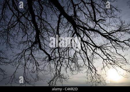 Oak Tree Branches in Winter Morning Sunlight Chiemgau Bavaria Germany - Stock Photo