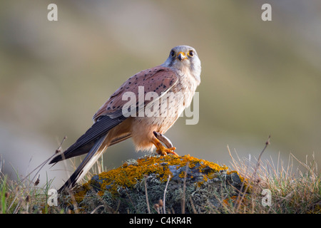 Kestrel; Falco tinnunculus; male with slow worm; Cornwall - Stock Photo