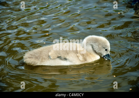 Mute Swan Cygnet (Cygnus olor) on canal in Lancashire UK - Stock Photo