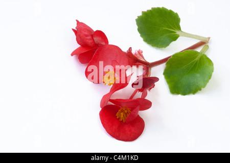 Wax Begonia, Wax-leaf Begonia (Begonia x semperfloren-cultorum), red flowers and leaves. Studio picture. - Stock Photo