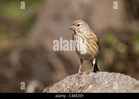 Linnet; Carduelis cannabina; female - Stock Photo