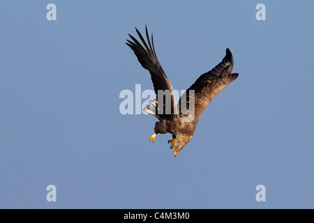 White-tailed Eagle / Sea Eagle / Erne (Haliaeetus albicilla) in flight spotting prey, Germany Stock Photo