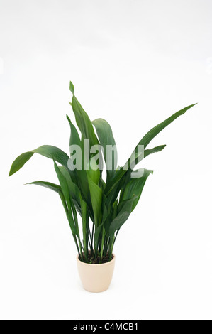 Cast Iron Plant (Aspidistra elatior). Potted plant. Studio picture against a white background - Stock Photo