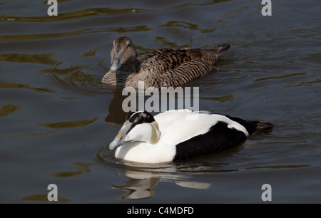 Pair of eider ducks on water - Stock Photo