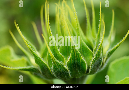 Close up of backlit hairy and spiky green half-open flowerhead of Sunflower or Helianthus annuus before yellow petals - Stock Photo