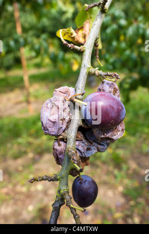 Victoria plums including withered plums on a plum tree in Gloucestershire, England, United Kingdom - Stock Photo