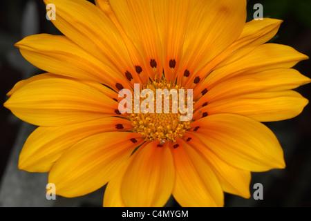 Orange Gazania close up - Stock Photo