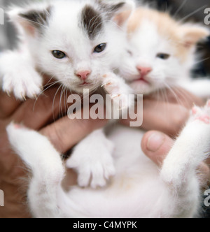 A pair of soft cute week old kittens being held in hands - Stock Photo
