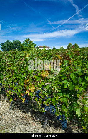 Cabernet Sauvignon grapes ripe for harvesting at Chateau Fontcaille Bellevue in Bordeaux wine region of France - Stock Photo