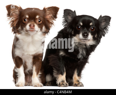 Chihuahuas, 1 and 2 years old, in front of white background - Stock Photo
