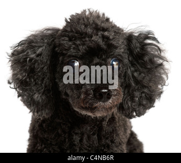 Close-up of half blind Poodle, 13 years old, in front of white background - Stock Photo
