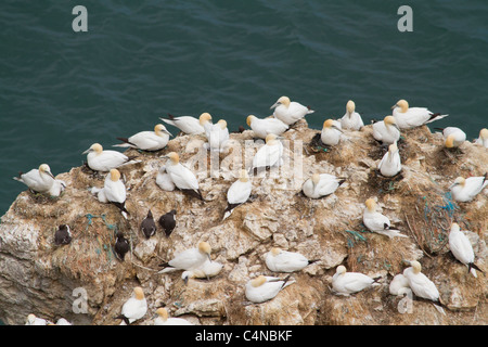 Gannet colony and other wild sea life birds - Stock Photo