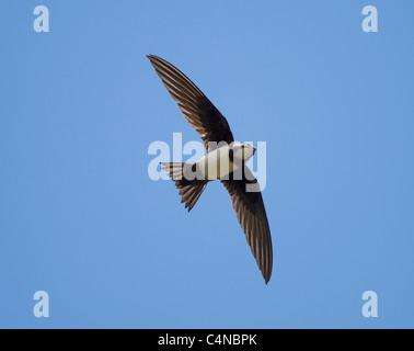 Alpine Swift Apus melba in flight wings spread and tail spread Turkey May - Stock Photo