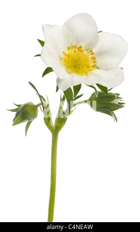 Flower of garden strawberry, Fragaria ananassa, in front of white background