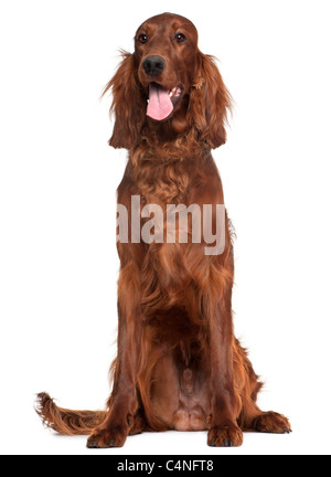 Irish Setter, 1 year old, sitting in front of white background - Stock Photo