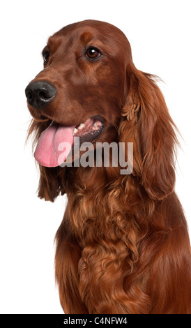 Close-up of Irish Setter, 1 year old, in front of white background - Stock Photo
