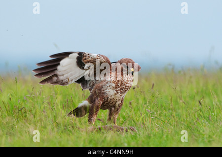 Common Buzzard (Buteo buteo), standing on prey, North Kent Marshes, Isle of Sheppey, Kent, England, June - Stock Photo