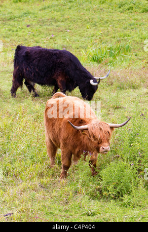 Highland cattle used for conservation grazing, assisting land management on a  wildlife reserve, London, UK - Stock Photo