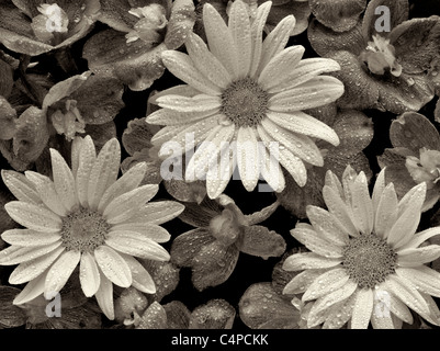 Close of Baladonna flowers and Margerite Daisies with water drops. - Stock Photo