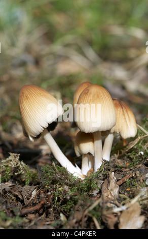 Coprinus micaceus Glistening Ink Cap - Stock Photo