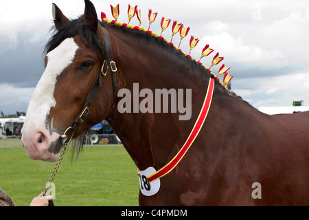 Shire horse in the showground parade ring. .Events and Competitors at the Cheshire Game & Country Fair Show, Knutsford, - Stock Photo