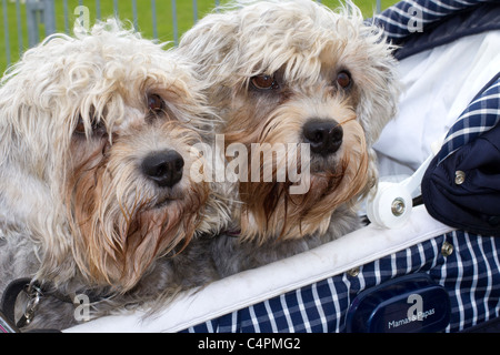 'Dogs in a Pram'   Events and Competitors at the Cheshire Game & Country Fair Show, Knutsford, UK - Stock Photo