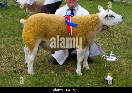 Beltex is a breed of domestic sheep. A portmanteau of Belgian and Texel sheep breeds, the name reflects the breed's - Stock Photo