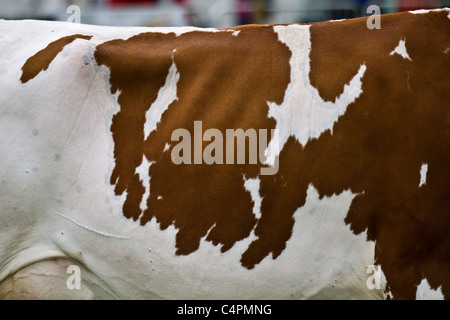 Ayrshire Cattle, British cows; dairy breed with  brown & white markings. Events and Competitors at the Cheshire - Stock Photo