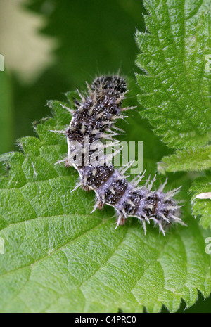 Painted Lady Butterfly Larva, Vanessa cardui, Nymphalidae, Lepidoptera - Stock Photo