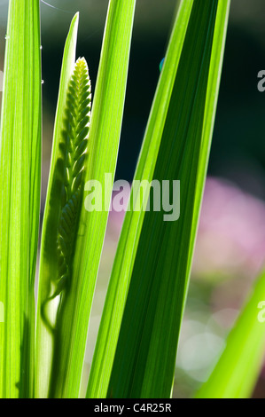 Developing Crocosmia lucifer flowers back lit in a garden - Stock Photo