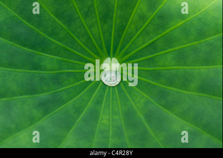 Nelumbo nucifera leaf. Water drop on a Lotus leaf. - Stock Photo