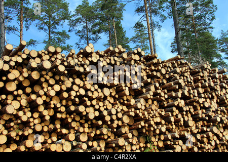 A high pile of cut wooden logs with pine trees on the background, to produce pulp or renewable energy. - Stock Photo