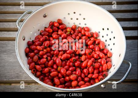 Rosehips in white colander. - Stock Photo