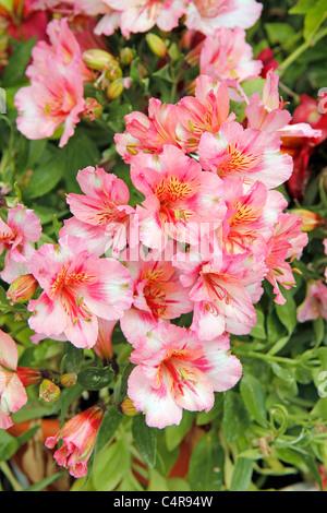 Peruvian lily. Alstroemeria - Stock Photo