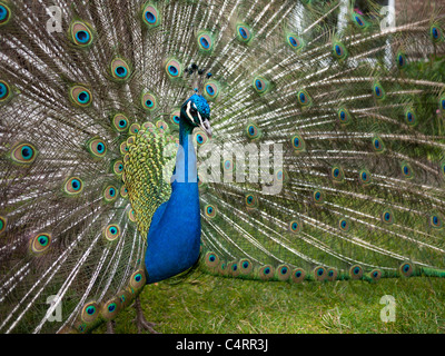 Peacock with feathers extended in courtship display, close up. - Stock Photo