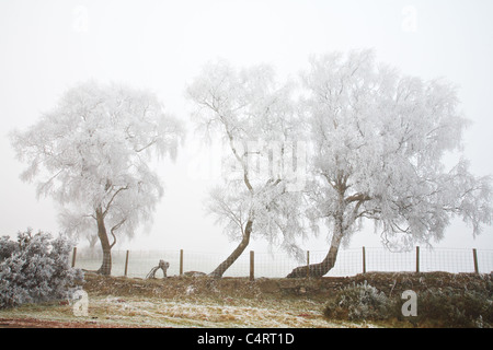 Hoar Frost on trees at Mynydd Illtud, Brecon Beacons National Park, Wales - Stock Photo
