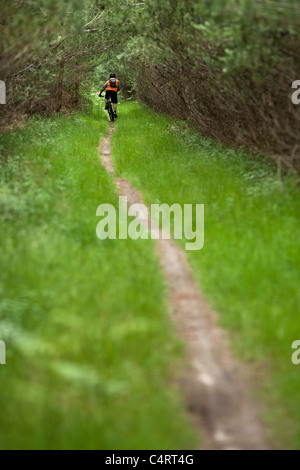 Mountain biker rides through Thetford Forest Park, England, United Kingdom - Stock Photo