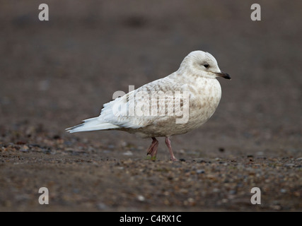 Iceland Gull Larus glaucoides 2nd winter vagrant Lowestoft Suffolk February - Stock Photo