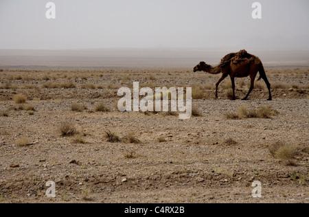 Lonely dromedary (camel) in the desert (Dasht-e Kavir) between Bardeskan and Eshq Abad, Iran - Stock Photo