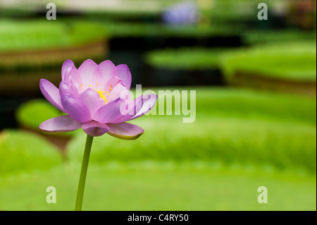 Nymphaea Carpentariae 'Julia Leu'. Waterlily - Stock Photo