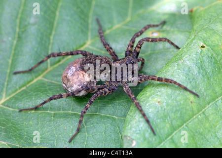Female Wolf Spider Pardosa spp - Stock Photo