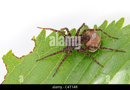 Female Wolf Spider Pardosa Sp With Egg Sac - Stock Photo
