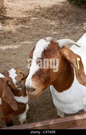 Goats  'Boer' mother with kid - Stock Photo